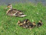 Mallard hen and chicks 1.jpg