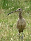 Long-billed Curlew 1.jpg