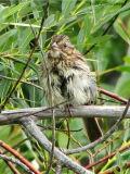 Lincolns Sparrow 1a.jpg