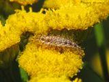 Lacewing larva A2.jpg