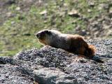 Hoary Marmot 1.jpg
