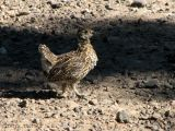 Spruce Grouse chick 1.jpg