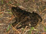 Spotted Frog 1.jpg