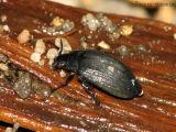 Amphizoa lecontei - Trout Stream Beetle 1.jpg