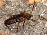 Tragosoma depsarius - Hairy Pine Borer 1.jpg