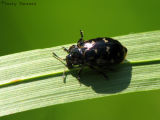 Chrysomela aneicollis - Chrysomelid beetle B1.jpg
