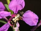 Xestoleptura tibaialis - Longhorn beetle 2.jpg