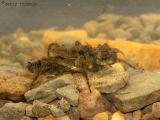 Libellulid Dragonfly larva B2.jpg