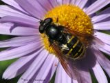 Sericomyia chrysotoxoides - Flower Fly 1.jpg
