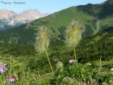 Anemone occidentalis - Western Anemone 3.jpg