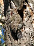 Northern Flicker, Yellow-shafted.jpg