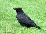 Common Raven 1.jpg