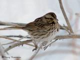 Song Sparrow 8b.jpg