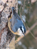 Red-breasted Nuthatch 22a.jpg