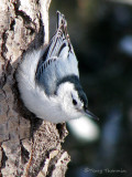 White-breasted Nuthatch 31a.jpg