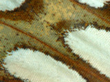 Butterfly Wing 1a.jpg