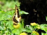 Papilio thoas in flight 3a - SV.jpg