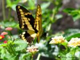 Papilio thoas in flight 1a - SV.jpg