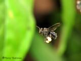 Stingless bee in flight B1a - RN.jpg