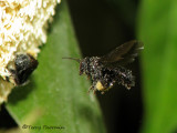 Stingless bee in flight B2a - RN.jpg
