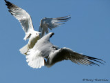 Ring-billed Gulls aerial fight 1a.jpg