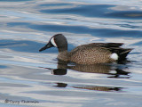 Blue-winged Teal 13a.jpg