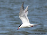Common Tern in flight 1a.jpg