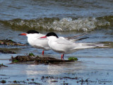Common and Arctic Tern 1a.jpg