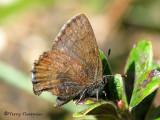 Gossamer-winged Butterflies - Lycaenidae