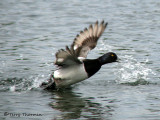 Lesser Scaup taking off 1a.jpg