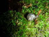 Snail F South March Highlands Conservation Forest Kanata 01June2008 214.jpg