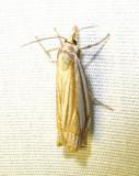 Crambus laqueatellus - 5378 - Eastern Grass-veneer Moth