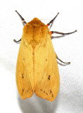 Pyrrharctia isabella - 8129 - Isabella Tiger Moth - view 1