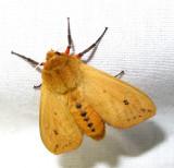 Pyrrharctia isabella - 8129 - Isabella Tiger Moth - view 2