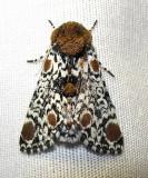 Harrisimemna trisignata - 9286 - Harris's Three Spot