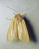 Simyra insularis - 9280 - Cattail Caterpillar Moth