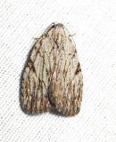 Balsa tristrigella - 9663 - Three-lined Balsa