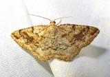 Homochlodes fritillaria - 6812 - Pale Homochlod