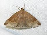 Parallelia bistriaris - 8727 - Maple Looper Moth