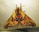 Paonias excaecata - 7824 - Blind-eyed Sphinx