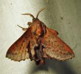 Phyllodesma americana - 7687 - Lappet Moth - view 1