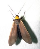 Cisseps fulvicollis - 8267 - Yellow-collared Scape Moth