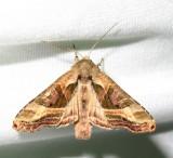Phlogophora iris - 9546 - Olive Angle Shades Moth