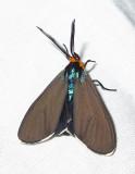 Ctenucha virginica - 8262 - Virginia ctenucha
