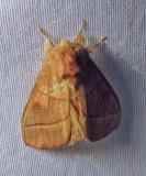 Nadata gibbosa - 7915 - White-dotted Prominent