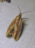 Phaneta formosana - 2916 - Beautiful Phaneta Moth