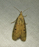 Aphomia sociella - 5629 - Bee Moth