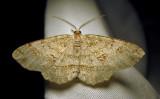 Melanolophia signataria - 6621 - Signate Melanolophia