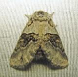 Gluphisia septentrionis - 7931 - Common Gluphisia