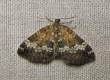 Rheumaptera hastata - 7293E